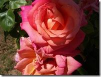 100_7247 roses