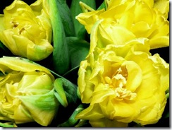 yellow-tulips-1